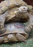 Tortoises Stock Photos
