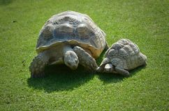 Tortoises Royalty Free Stock Photo