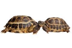 tortoises Στοκ εικόνες με δικαίωμα ελεύθερης χρήσης