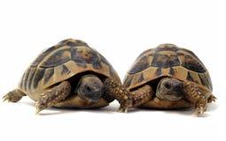 Tortoises Stock Photography