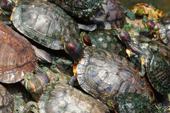 Tortoises Royalty Free Stock Photos