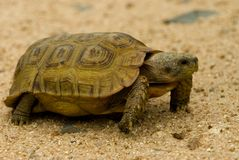 Tortoises. Land tortoise - KNP - South Africa Stock Photo