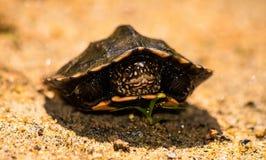 tortoises Obrazy Royalty Free