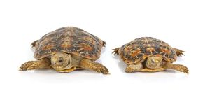 Tortoises Stock Photo