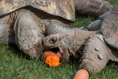 Tortoises and a carrot Royalty Free Stock Image