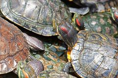 Tortoises crowded together Stock Photography