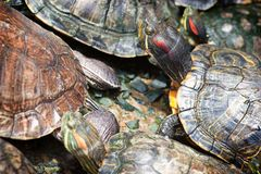 Tortoises crowded together Stock Image