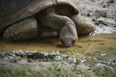 Tortoises drinking water Stock Photo
