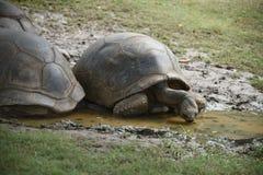 Tortoises drinking water Stock Photos