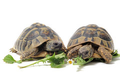 Tortoises eating Stock Image
