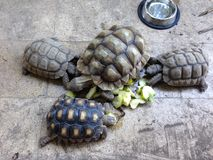 Tortoises eating Stock Images