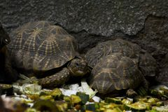 Tortoises having their meal. Tortoises are a family, Testudinidae, of land-dwelling reptiles in the order Testudines. Tortoises are shielded from predators by a Stock Photos