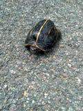 Exotic Tortoise Walking On road stock image