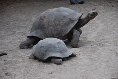 Tortoises in the Galapagos islands Royalty Free Stock Photo
