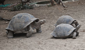 Tortoises in the Galapagos islands. Big and small tortoises in the Galapagos islands stock photo