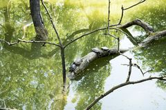 Tortoises hang on a wood in the water. The tortoises hang out in the sun to heat up royalty free stock image