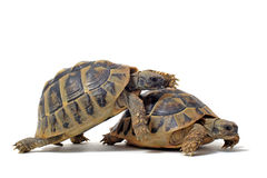 Tortoises having sex Royalty Free Stock Images