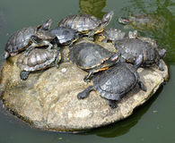 Tortoises laying on a big stone on a lake Stock Photos