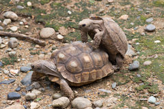 Tortoises Mating Stock Photos