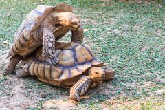 Tortoises Mating. A pair of golden African Spurred Tortoises mating at dusk Stock Photography