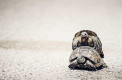 Tortoises mating on the road Stock Photo