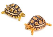 Tortoises Meeting Royalty Free Stock Image