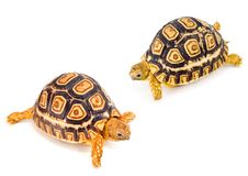 Tortoises Meeting Stock Images