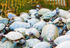 Tortoises in Penang, Malaysia Royalty Free Stock Image