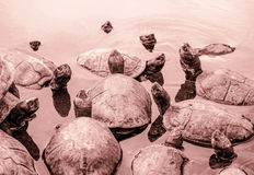 Tortoises in Penang, Malaysia Royalty Free Stock Photo