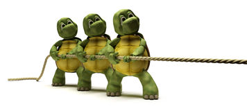 Tortoises pulling on a rope Stock Images