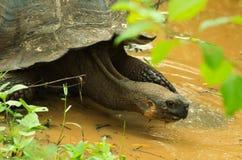 Tortoises są trawożernymi zwierzętami z dietą zawierający kaktusa, traw, liści i owoc chodzi nad bagnem inside, Obrazy Stock