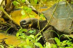 Tortoises są trawożernymi zwierzętami z dietą zawierający kaktusa, traw, liści i owoc chodzi wśrodku lasu, Obraz Royalty Free