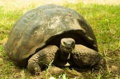 Tortoises są trawożernymi zwierzętami z dietą zawierający kaktusa, traw, liści i owoc chodzi w lesie, Fotografia Stock