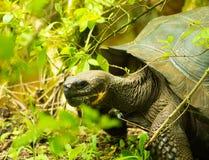 Tortoises są trawożernymi zwierzętami z dietą zawierający kaktusa, traw, liści i owoc chodzi w lesie, Obrazy Stock