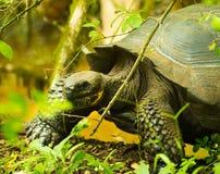 Tortoises są trawożernymi zwierzętami z dietą zawierający kaktusa, traw, liści i owoc chodzi w lesie, Fotografia Royalty Free