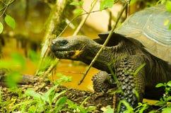 Tortoises są trawożernymi zwierzętami z dietą zawierający kaktusa, traw, liści i owoc chodzi w lesie, Zdjęcia Royalty Free