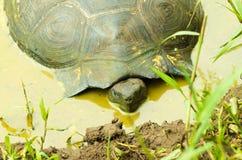 Tortoises są trawożernymi zwierzętami z dietą zawierający kaktusa, traw, liści i owoc odpoczywa wśrodku bagna, Zdjęcia Royalty Free