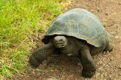 Tortoises są trawożernymi zwierzętami z dietą zawierający kaktusa, traw, liści, winogradów i owoc, chodzi w skalistym Zdjęcia Royalty Free