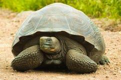 Tortoises są trawożernymi zwierzętami z dietą zawierający kaktusa, traw, liści, winogradów i owoc, frontowy widok Obraz Royalty Free