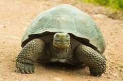 Tortoises są trawożernymi zwierzętami z dietą zawierający kaktusa, traw, liści, winogradów i owoc, frontowy widok Fotografia Stock