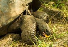Tortoises są trawożernymi zwierzętami z dietą zawierający kaktusa, traw, liści, winogradów i owoc, je guava obraz royalty free
