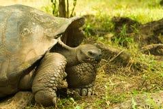 Tortoises są trawożernymi zwierzętami z dietą zawierający kaktusa, traw, liści, winogradów i owoc, pozuje wśrodku Zdjęcie Royalty Free