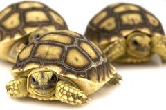 Tortoises stimolati africani (sulcata del Geochelone) Immagini Stock Libere da Diritti