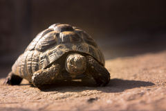Tortoises Royalty Free Stock Photography