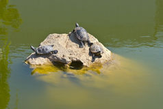 Tortoises on a stone Stock Image
