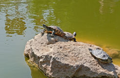 Tortoises on a stone Royalty Free Stock Photo