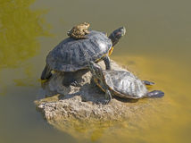 Tortoises on a stone Royalty Free Stock Photography