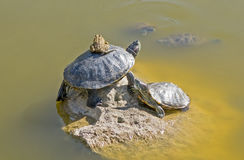 Tortoises on a stone Stock Photography