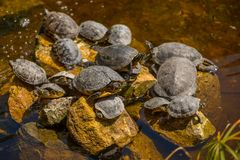Tortoises sunbathing on the stones in the water.  royalty free stock photos