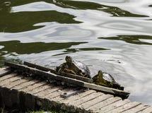 Tortoises sunbathing w jeziorze Obrazy Royalty Free